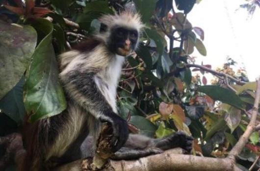 Wat is er te doen op Zanzibar Red Colobus aap